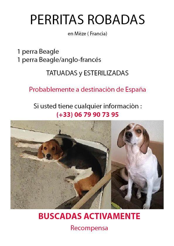 Affiche recherche chiennes Espagnol